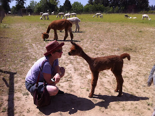 baby alpaca face off