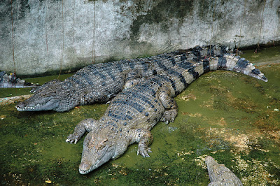 cocodrilo malayo Crocodylus mindorensis