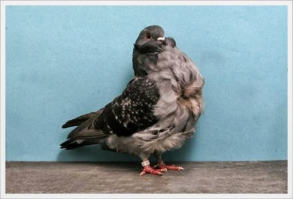 pigeon mature personals Bird and parrot classifieds browse through available pigeons for sale by aviaries , breeders and bird rescues  fantail pigeon age: adult ad type: for sale.