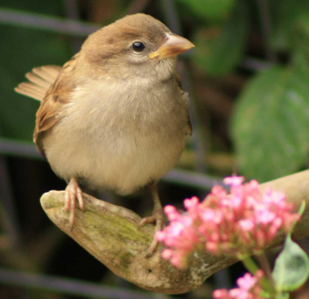 Sparrow Baby