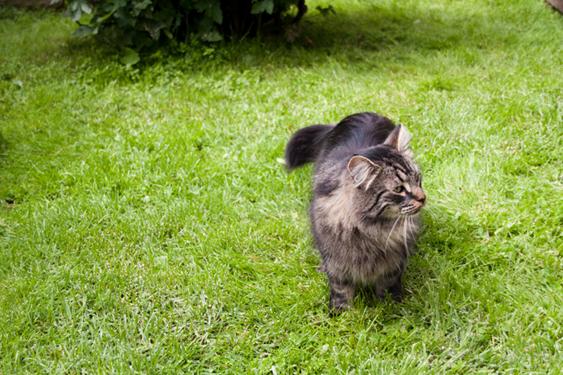 Kissa nurmikolla
