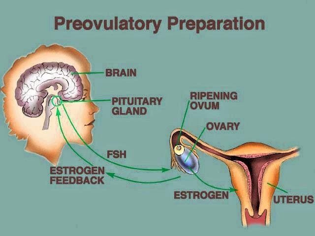 pra evolusi menstruasi