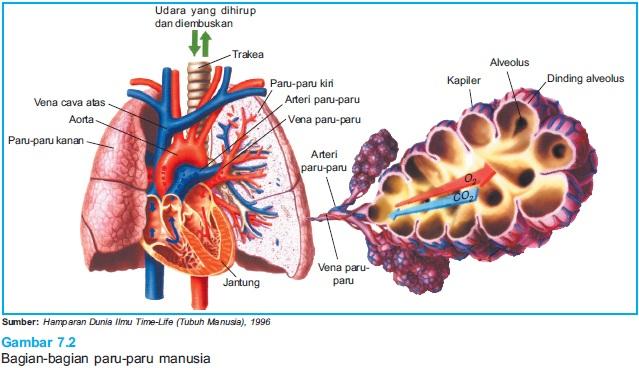 bagian paru paru manusia