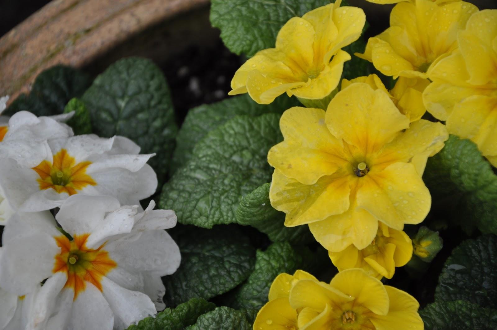 Orbis Catholicus Secundus Spring Flowers In The Vatican Primrose