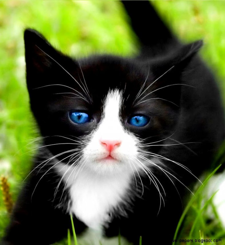 Pics For > Cute Black And White Kitten Pictures