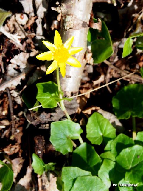 ziarnopłon wiosenny , orawa , wiosna , kwiaty
