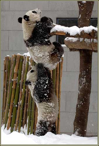 pandas helping hands