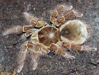 The Goliath bird-eating spider is, as its name suggests, large enough to eat a bird.
