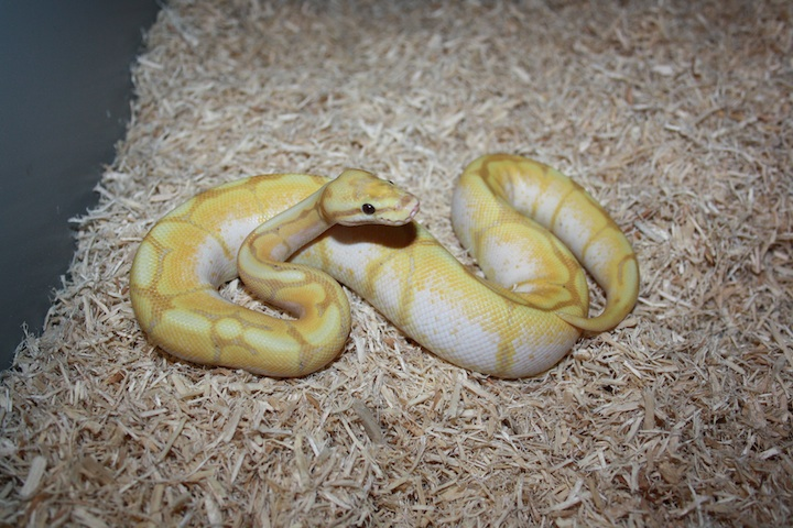 Banana spider ball python - photo#12