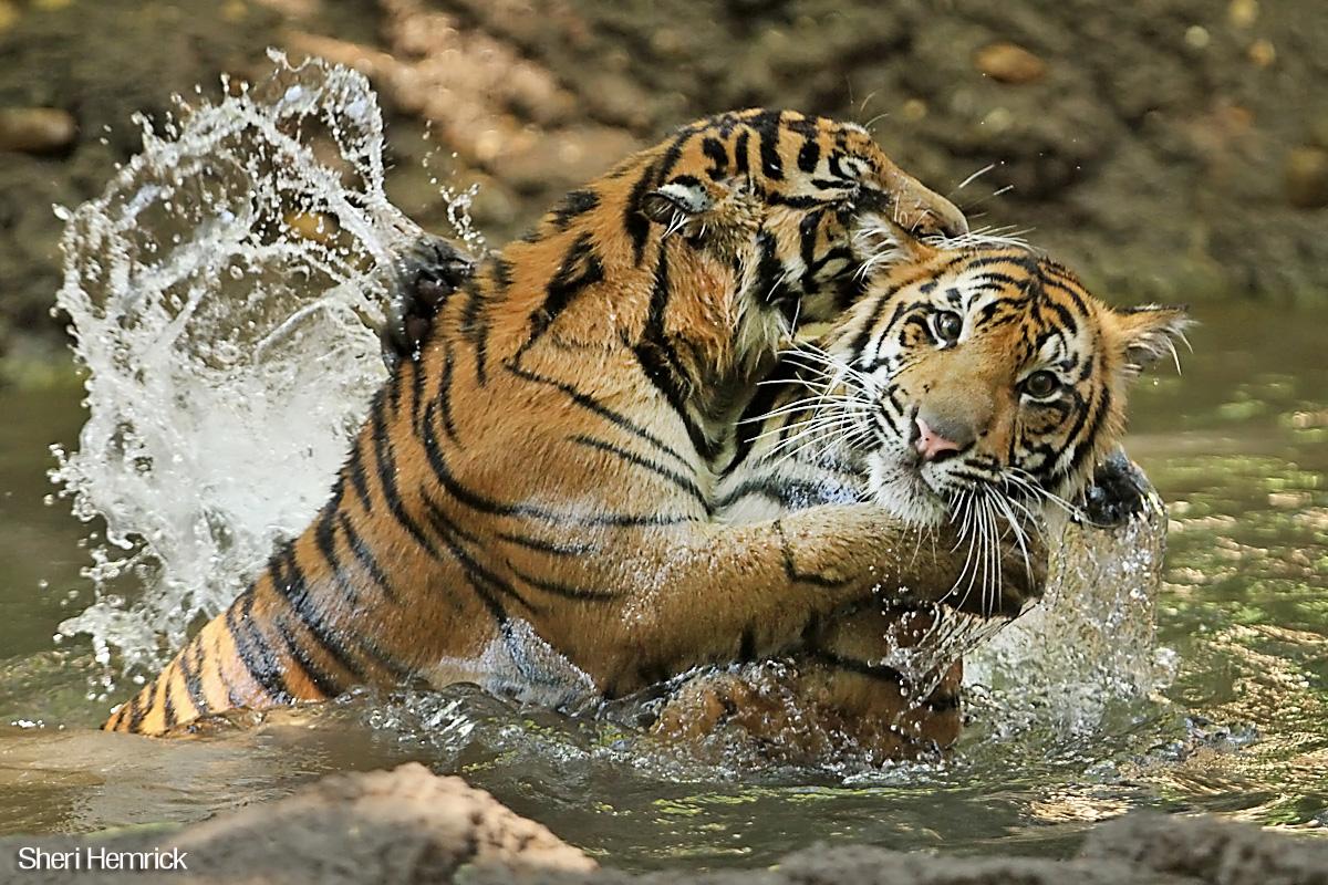 Sumatran Tiger The Wildlife