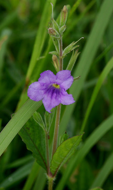 Ruellia ciliatiflora