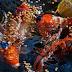 Cara Pemberian Pakan Pada Ikan Koi