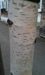 Betula - Birch Bark Of Young Tree