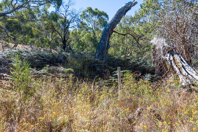 overgrown manna gum track