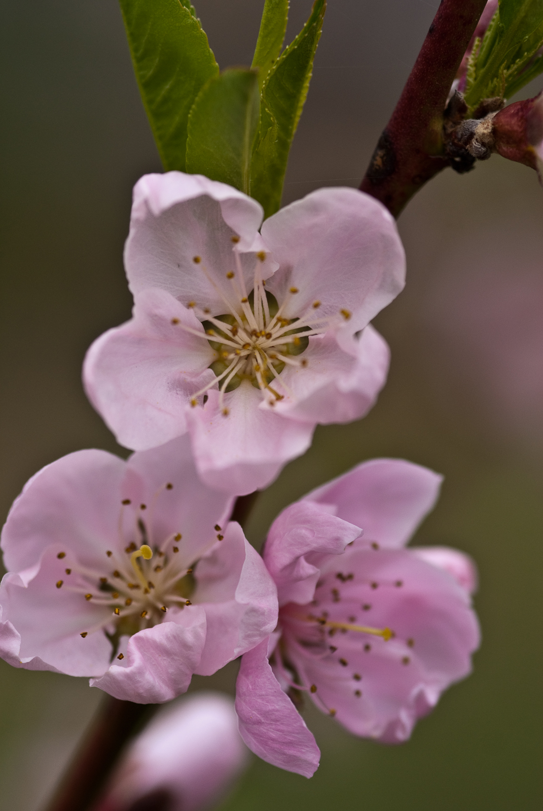 Flowers World Pink Peach Tree Blossom