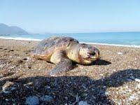 Νεκρή άλλη μια χελώνα στον Κυπαρισσιακό Κόλπο
