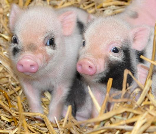 Well-known ♥ Sementinhas para Crianças♥: ♥ Porquinhos velozes ♥ VM98