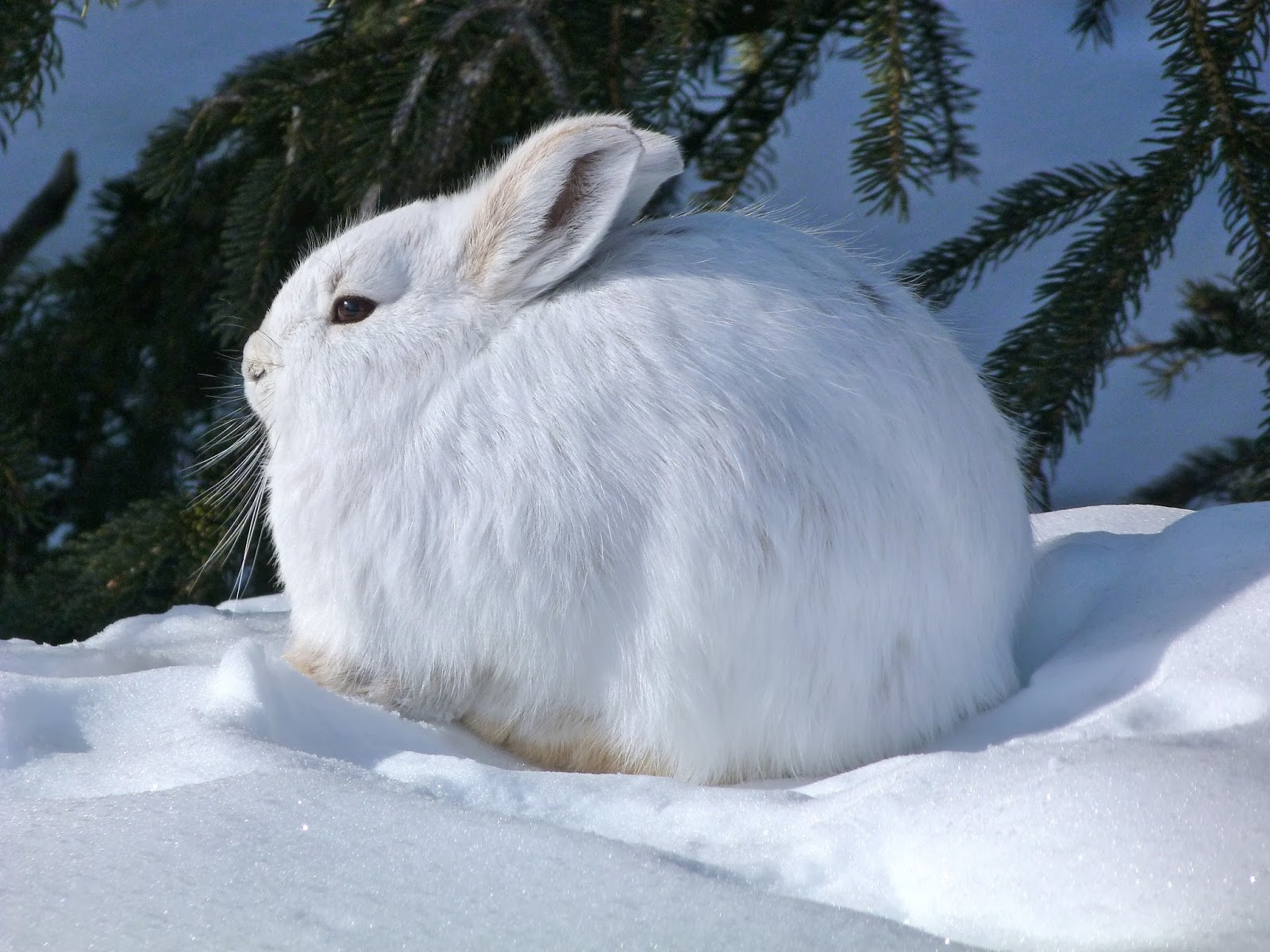 Snowshoe hare winter