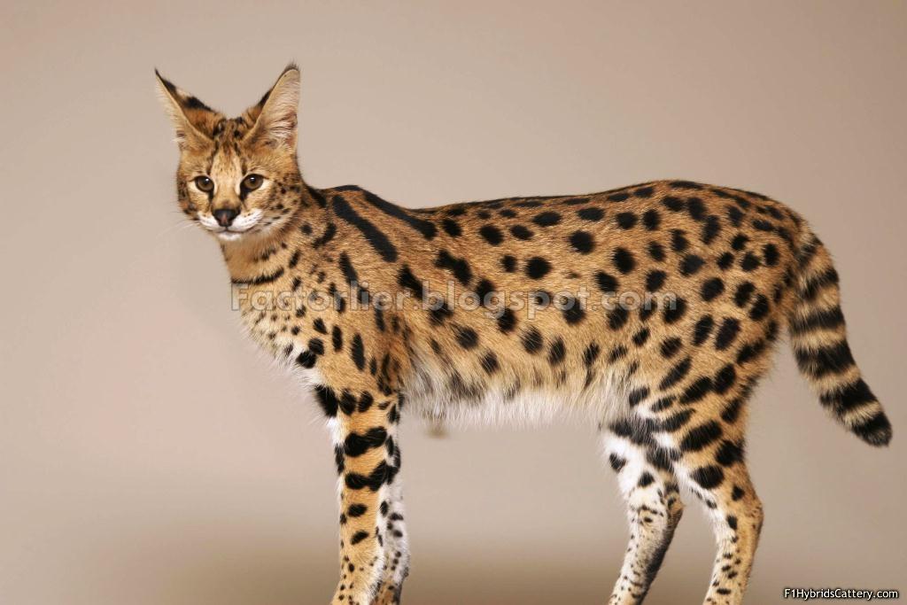 Jenis Kucing Tinggi Besar 10 Jenis Kucing Paling Popular