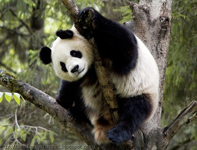 panda bears pictures 16
