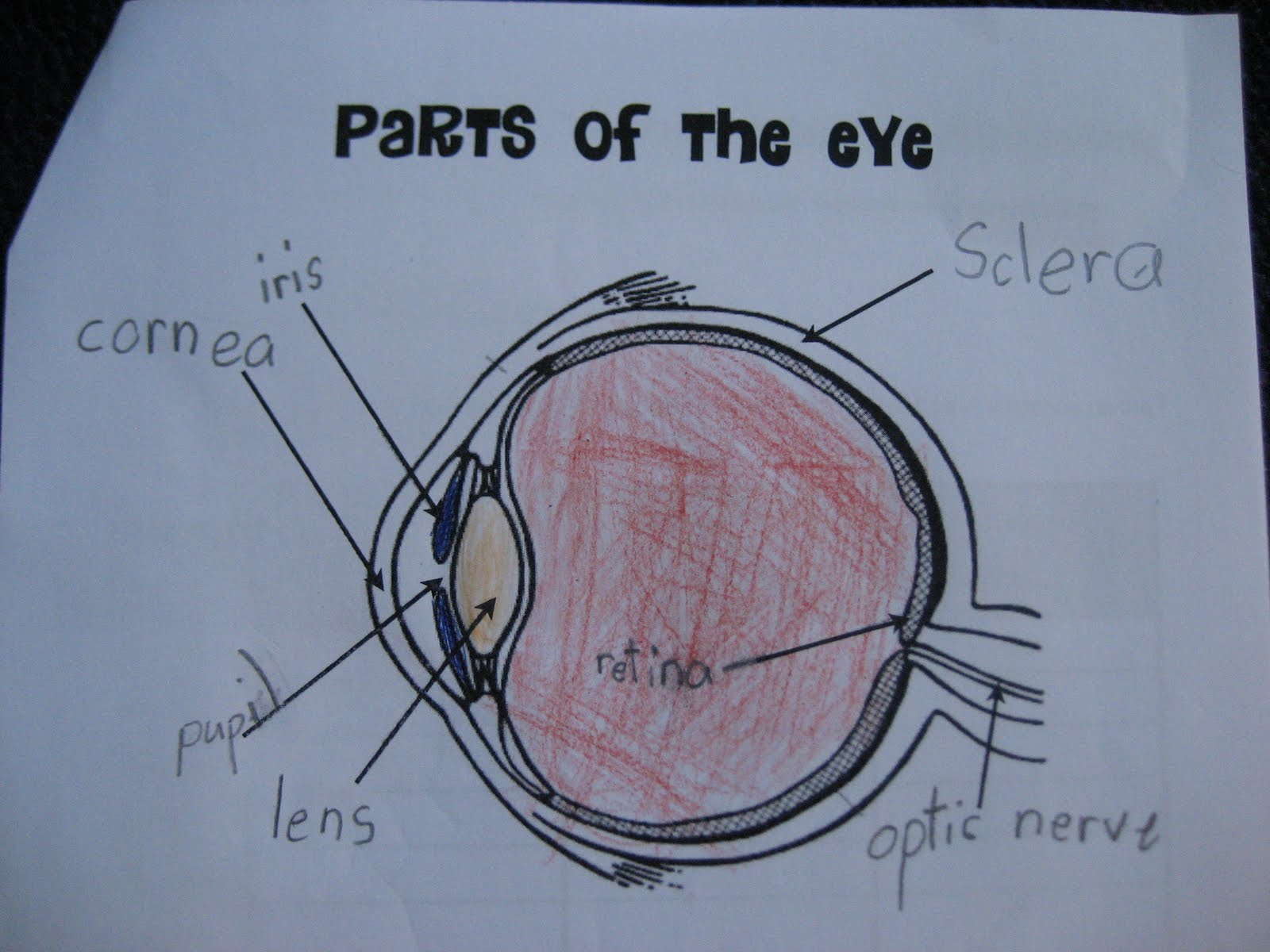 Scienceehs Parts Of The Eye