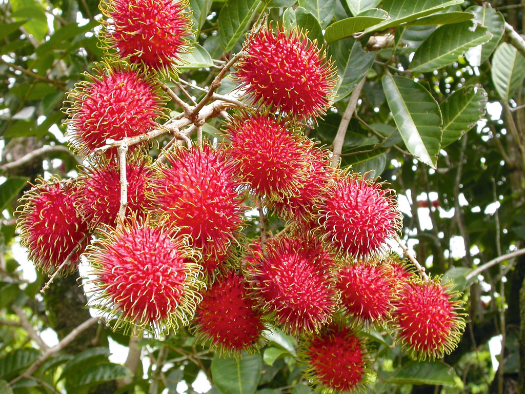 rambutan tree  klejonka, Natural flower