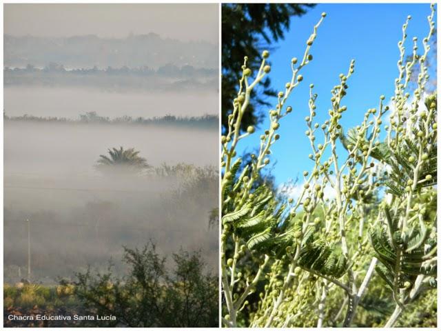 neblina y aromos con pimpollos - Chacra Educativa Santa Lucía