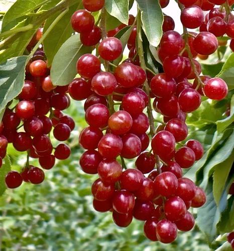 Красные ягоды которые вяжут