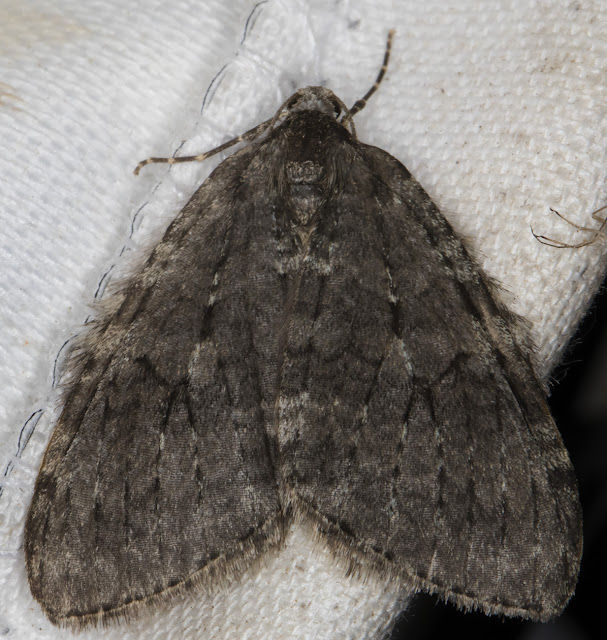 November Moth agg, Epirrita dilutata agg.  Sevenoaks Wildlife Reserve, 29 October 2015.