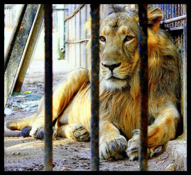 lion-in-the-cage-image