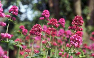 flores silvestres rosas