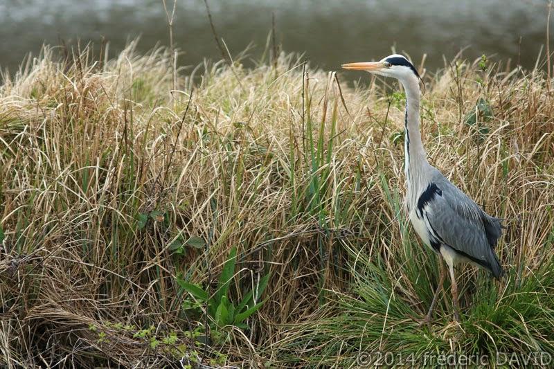 nature oiseau héron marais Fontenay-le-Vicomte Essonne