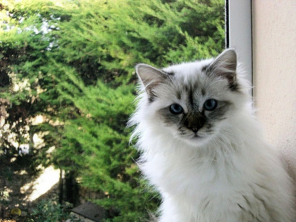 Grooming of Birman Cat