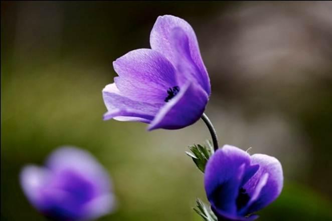 Anemonia.1