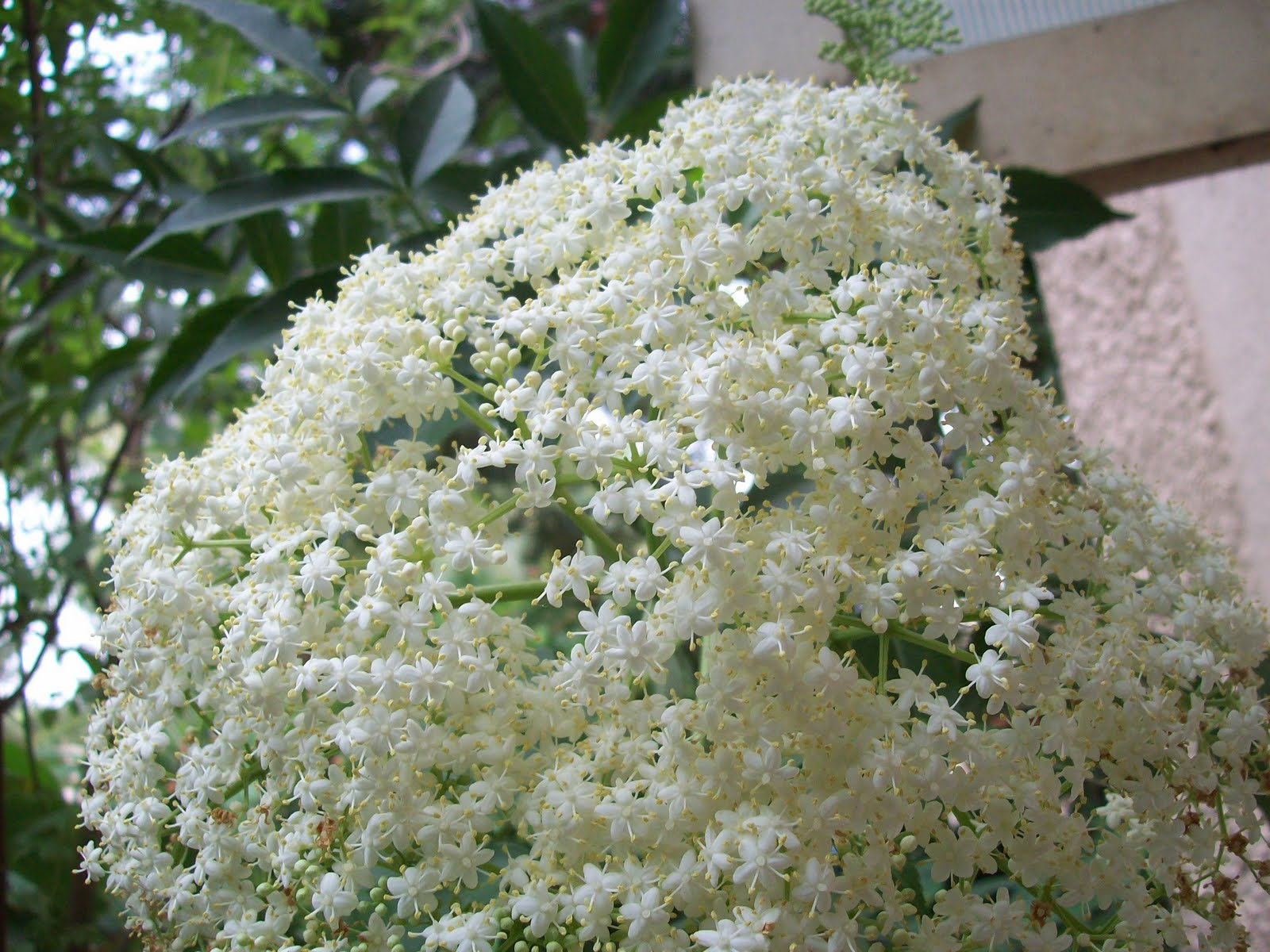 Gardentropics todays flowers the elderberry bush is full of these huge clusters of tiny white flowers the inflorescence seems to be a favourite place for small spiders and mantids mightylinksfo