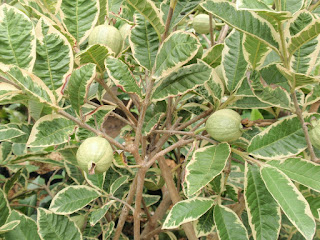 bibit-jeruk-sunkist-variegata.jpg