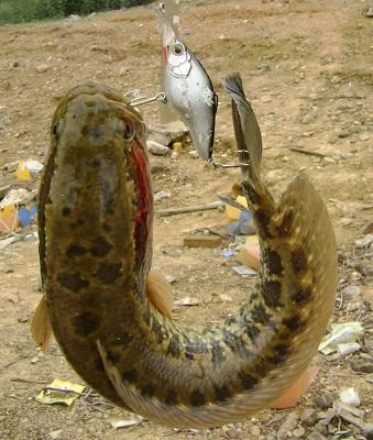 Cá lóc ăn mồi giả
