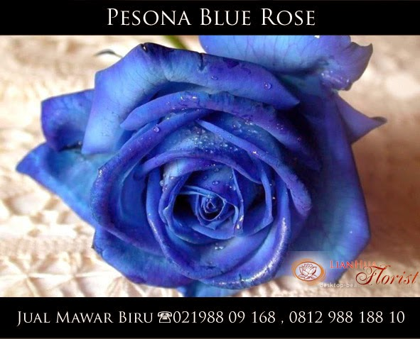 jual bunga mawar biru / blue rose
