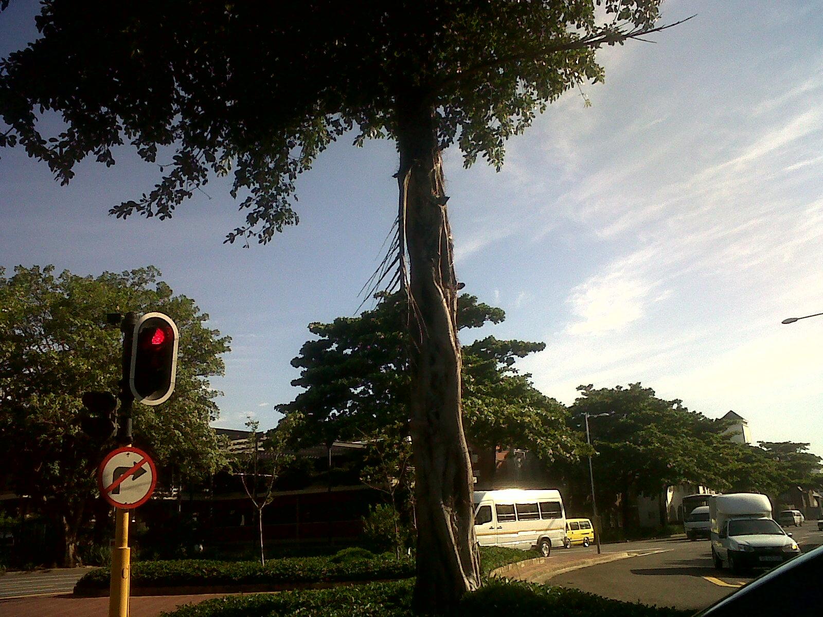 Izihlahla zetheku durban celebrates trees