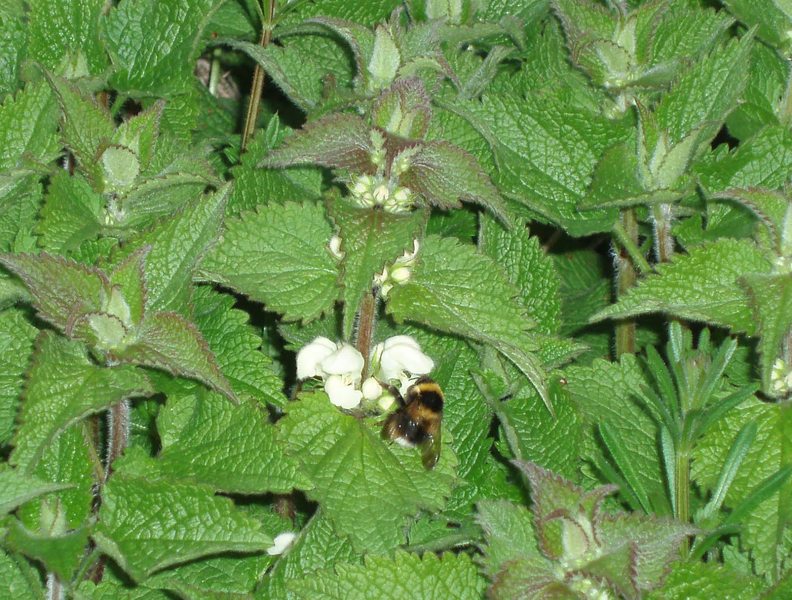 Benefits Of White Dead Nettle (Lamium Album) For Health