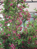 """Ruby Weigela"" Shrub"