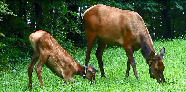 Video: Mother Elk and Calf - Great Smoky Mountains