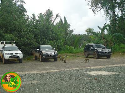 Monyet - monyet berkeliaran ke parkiran mobil