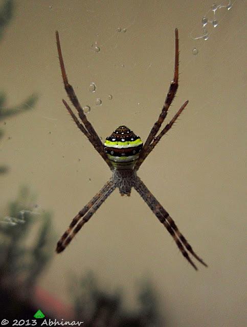 Signature Spider (Argiope anasuja)