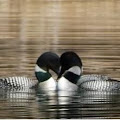 We are loving loons