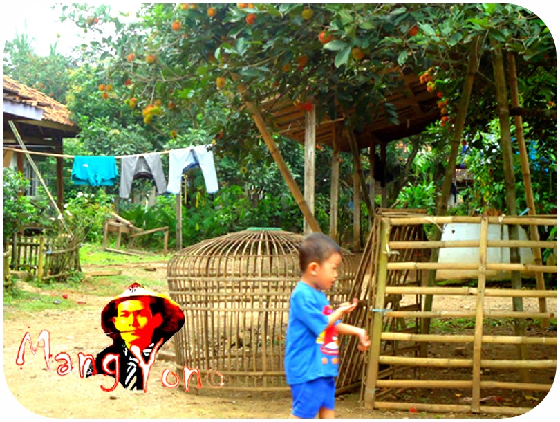 Gigin Bermain - Buah Rambutan Di Sekitar Rumah Saya Di Kabupaten Subang