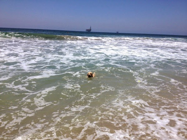 Labrador swimming Huntington Dog Beach