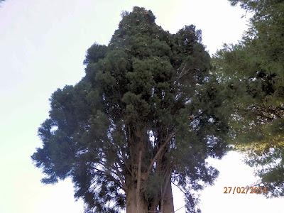 Κυπαρίσσι σπορά φύτεμα καλλιέργεια