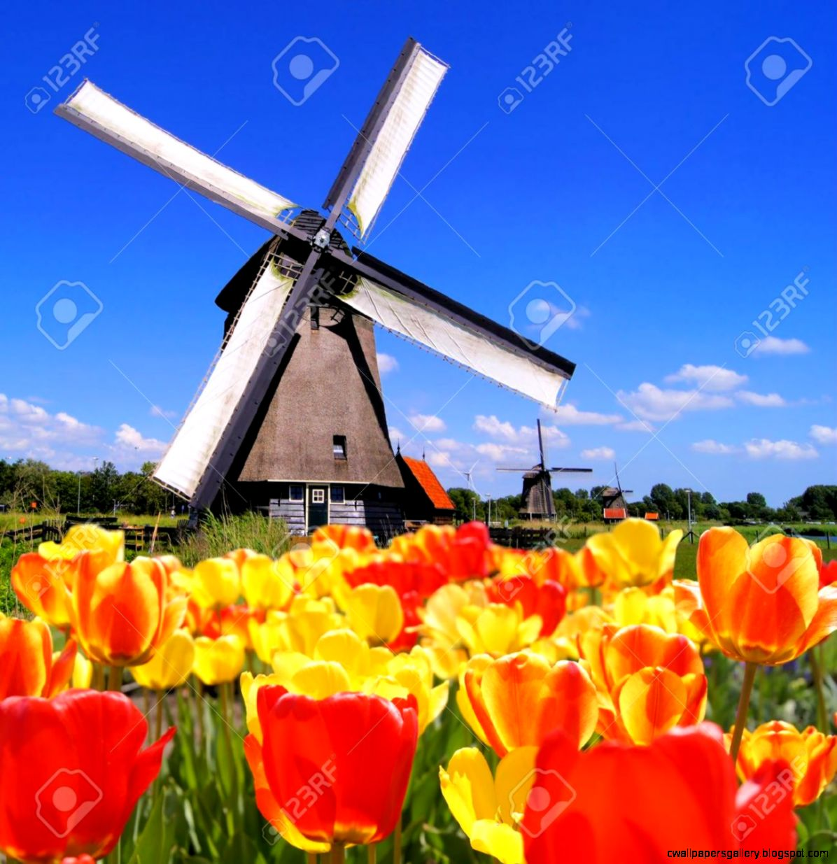 Traditional Dutch Windmills With Vibrant Tulips In The Foreground