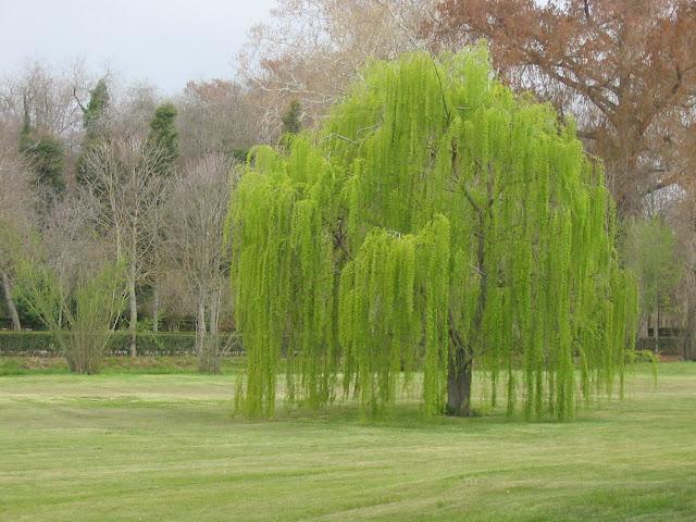 Sauce llor n tu rbol for Arboles para jardin japones